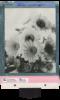 spring-sunflowers